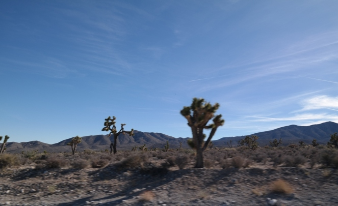 Joshua Trees on the drive back from Mt. Charleston