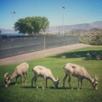 Bighorn Sheep at the park in Boulder City.