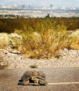 A Desert Tortoise we came across on our morning walk. The Strip can be seen in the background. Photo by Al S.